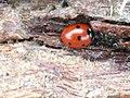 Coccinella septempunctata 111275880.jpg