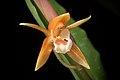 Coelogyne candoonensis (Philippines) Ames, Schedul. Orchid. 6- 18 (1923) (35690387273).jpg