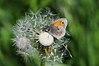 Coenonympha pamphilus, Kleines Wiesenvögelchen.jpg