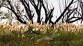 Colas de zorros - panoramio.jpg