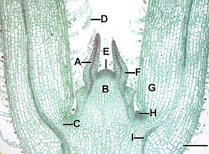 Leaf gap - Microscopic view of a stem tip of a Coleus plant, showing leaf gaps (C) and leaf traces (I) of young leaves.