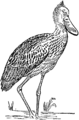 Collier's 1921 Stork - Shoe-billed Stork.png