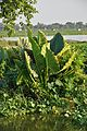 Colocasia Plant - West Bengal 7806.JPG