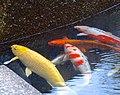 Colorful carps in fountain of Osu Park - 2.jpg