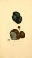 Coloured Figures of English Fungi or Mushrooms - t. 160.png