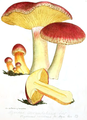 Coloured Figures of English Fungi or Mushrooms - t. 31.png