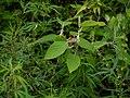 Colquhounia coccinea (7782630614).jpg