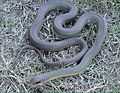 Coluber constrictor flaviventris2.jpg