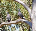 Columba livia (rock pigeon) in Cobbler creek.jpg