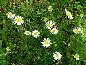English: Common Chamomile