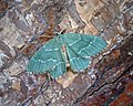 Common Emerald (43960038422).jpg