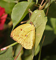 Common Emigrant (Catopsilia pomona) on a Bougainvillea species in Kolkata W IMG 3681.jpg