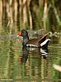 Common Moorhen (Gallinula chloropus) (27856575860).jpg