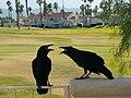 Common Ravens in Palm Desert CA.jpg
