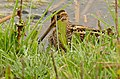 Common Snipe (Gallinago gallinago) (25608158563).jpg