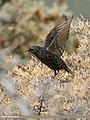 Common Starling (Sturnus vulgaris) (31928296364).jpg