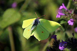 Common brimstone butterfly (Gonepteryx rhamni) male in flight.jpg