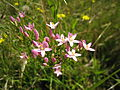 Common centaury (5363093462).jpg