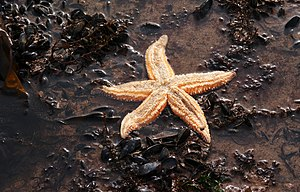 Common Starfish (Asterias rubens). This was ta...