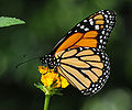 ComputerHotline - Danaus plexippus (by) (1).jpg