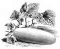 Concombre jaune hâtif de Hollande Vilmorin-Andrieux 1883.png