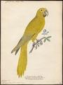 Conurus luteus - 1842-1855 - Print - Iconographia Zoologica - Special Collections University of Amsterdam - UBA01 IZ18500149.tif