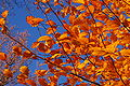 Copper Beech Fagus sylvatica f. purpurea Autumn Leaves 3008px.jpg