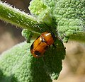 Coptocephala species. (C. scopolina^). Chrysomelidae. - Flickr - gailhampshire.jpg