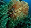 Coral gorgonian.jpg