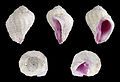 Coralliophila radula 01.JPG