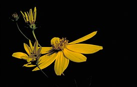 Coreopsis major FWS-1.jpg