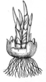 Corm (PSF).png