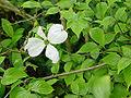 Cornus florida A.jpg