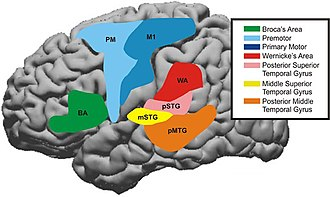 Cerebral cortex - Cortical areas involved in speech processing.