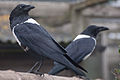 Corvus albus -Hamerton Zoo, Cambridgeshire, England -two-8a.jpg