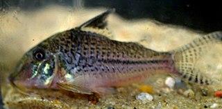 Blacktop corydoras species of catfish