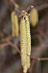 Samčie kvety liesky