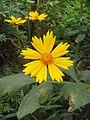 Cosmos bipinnatus Yellow, Found in Rajbiraj, Saptari, Nepal 2015-04-25.jpg