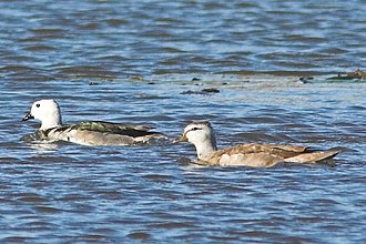 Cotton pygmy goose - Male (left) followed by a female, race albipennis