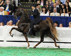 "American Saddlebred - High-stepping action is typical of the Saddlebred, as seen in this ""five-gaited"" horse, performing the rack."