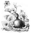 Courge pèlerine Vilmorin-Andrieux 1883.png