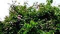 Cratylia hypargyrea Mart. ex Benth. (14066033188).jpg