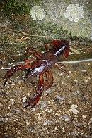 Crayfish(Astacus astacus)