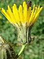 Crepis tectorum inflorescence (05).jpg