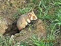 Cricetus cricetus - (Lubin, Poland).jpg