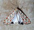 Crimson Speckled. Utethesia pulchella - Flickr - gailhampshire (1).jpg