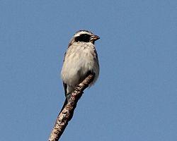 Crithagra mennelli, Muanza, Sofala-provinsie, Birding Weto, a.jpg