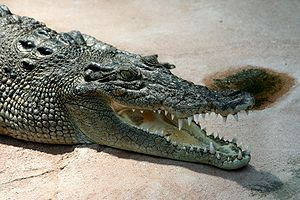 Deutsch: Leistenkrokodil (Crocodylus porosus) ...