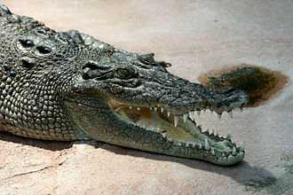 Saltwater crocodile - Head of a saltwater crocodile