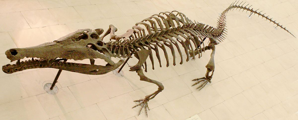 Crocodile skeleton.jpg
